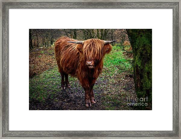 Highland Beast  Framed Print