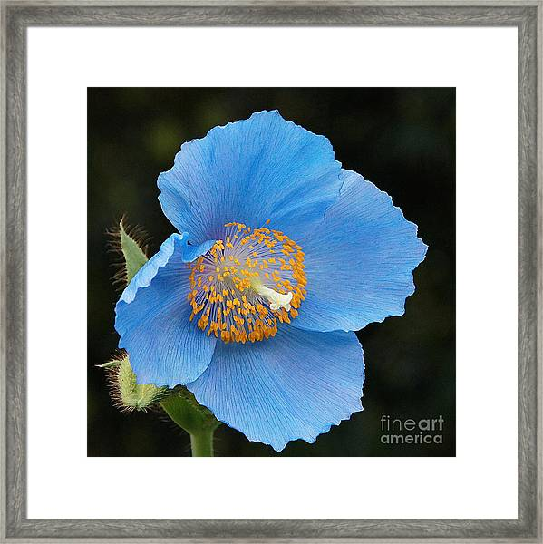 Himalayan Gift -- Meconopsis Poppy Framed Print