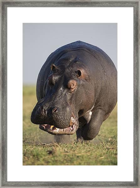 Hippopotamus Bull Charging Botswana Framed Print