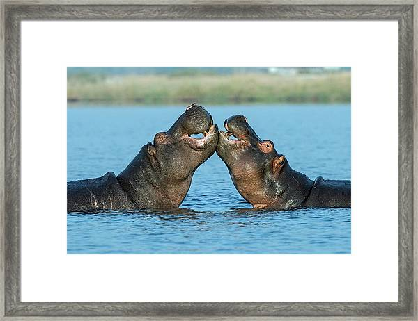 Hippopotamuses Being Affectionate Framed Print by Tony Camacho/science Photo Library