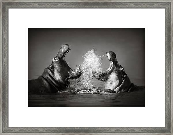 Hippo's Fighting Framed Print