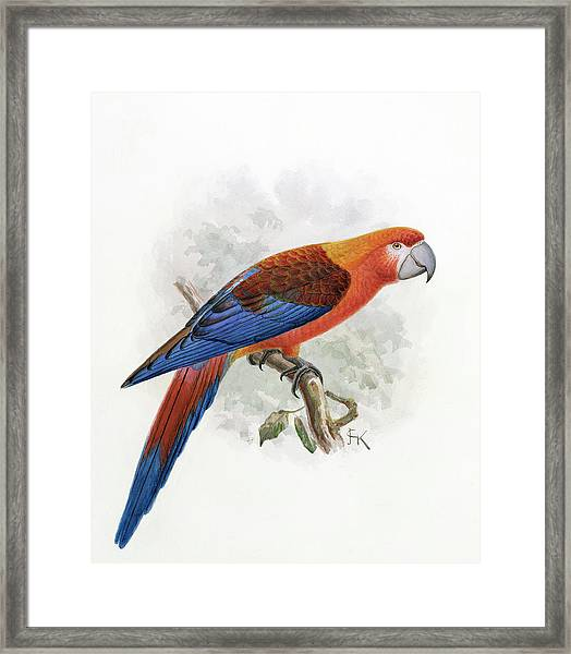 Hispaniolan Macaw Framed Print
