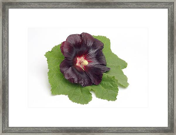 Hollyhock (alcea Rosea) Framed Print by Bildagentur-online/th Foto/science Photo Library