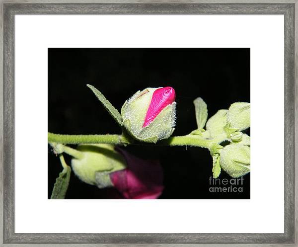 Hollyhock Buds Framed Print
