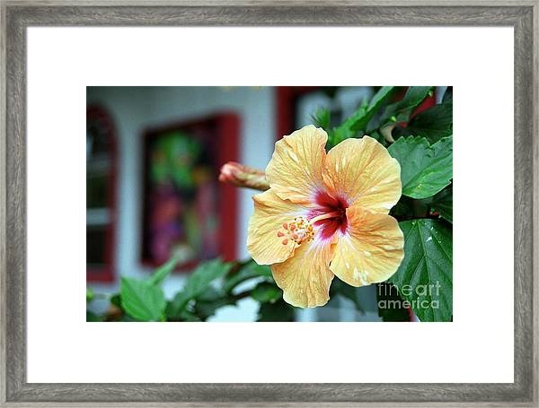 Holualoa Hibiscus Framed Print