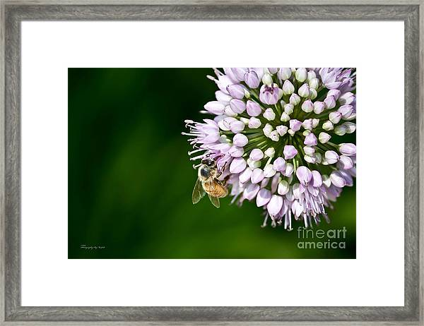 Honey Bee And Lavender Flower Framed Print