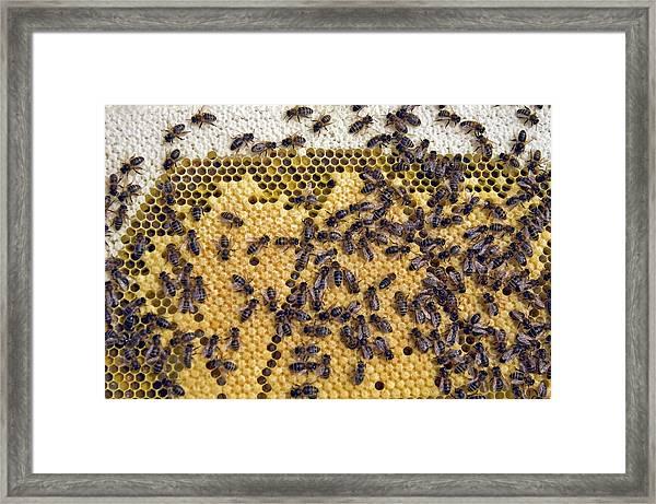 Honeybee Brood Frame Framed Print