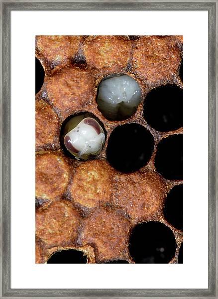 Honeybee Brood Framed Print