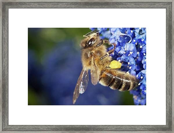 Honeybee Collecting Pollen Framed Print