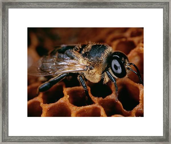 Honeybee Drone Framed Print