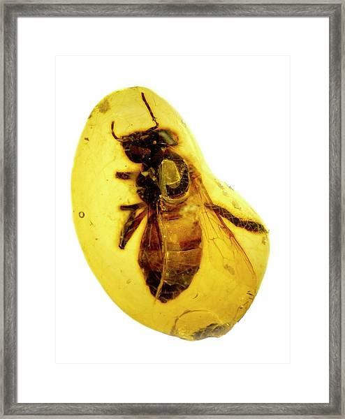 Honeybee In Amber Framed Print