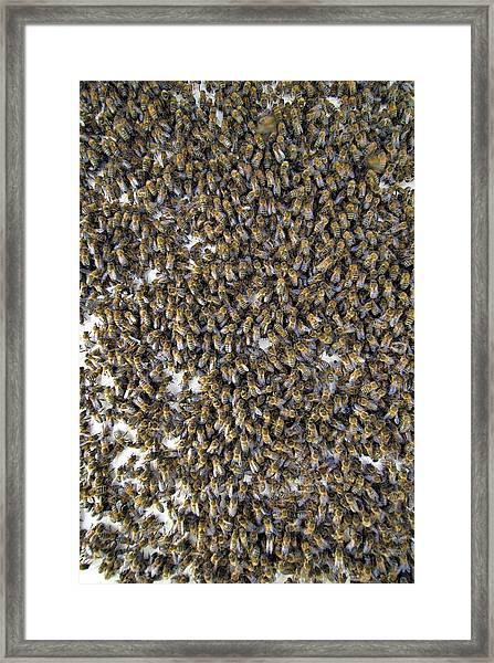 Honeybee Swarm Framed Print