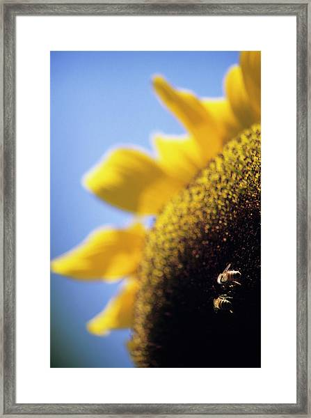 Honeybees Pollinating A Sunflower Framed Print
