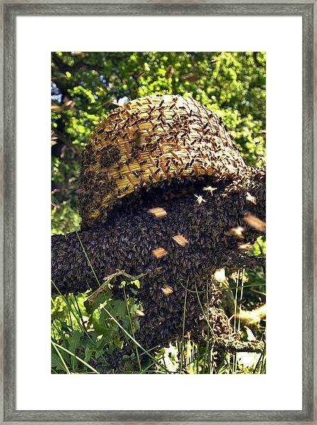 Honeybees Swarming Framed Print