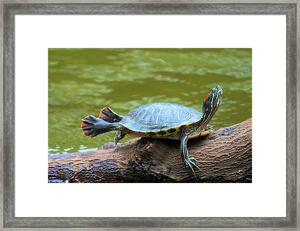 Hong Kong, A Painted Turtle Stretches Framed Print