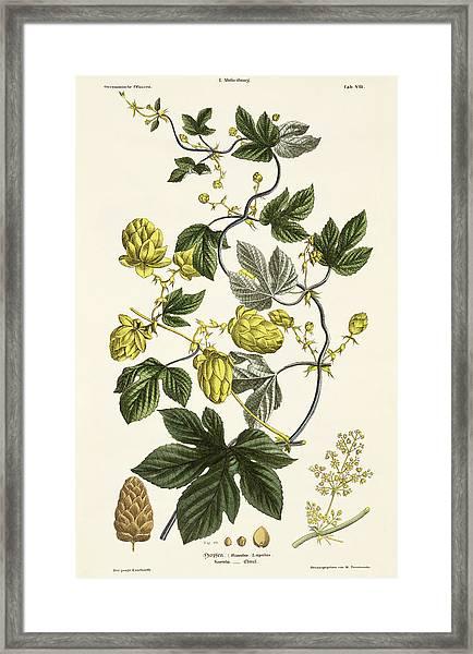 Hop Vine From The Young Landsman Framed Print