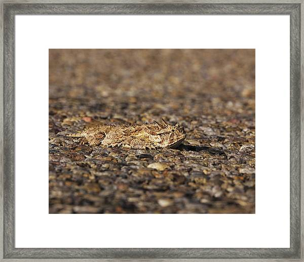 Horned Toad Framed Print