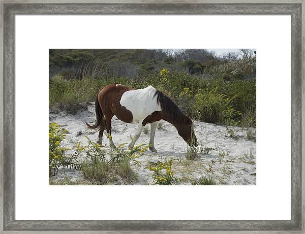 Horse And Dunes Asseteague Island Framed Print