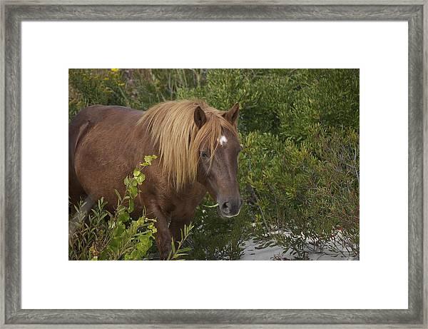Horse In Asseteague Island Dunes Framed Print