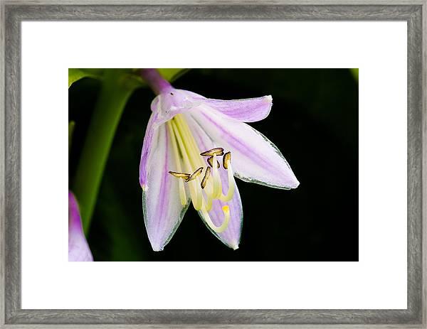 Hosta In Bloom Framed Print