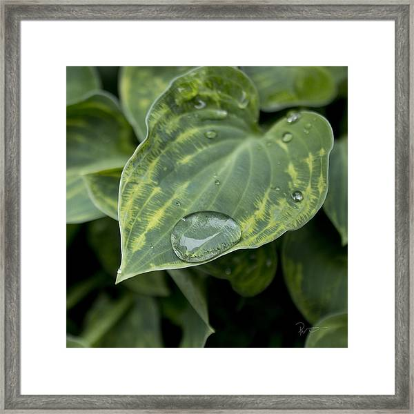 Hosta Framed Print by Stephen Prestek