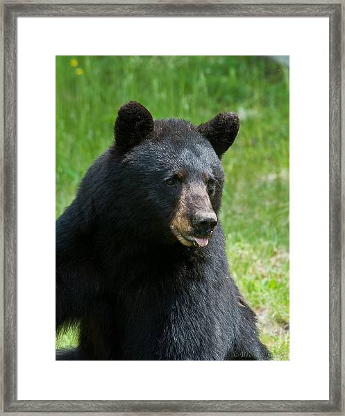 Hot Day In Bear Country Framed Print