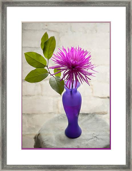 Hot Pink Spider Mum Framed Print