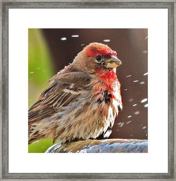 House Finch Framed Print