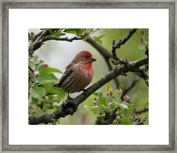 House Finch In Apple Tree Framed Print