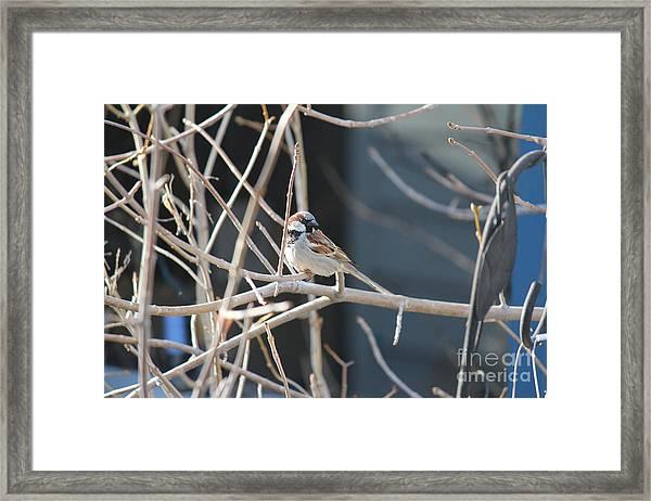 House Sparrow Framed Print