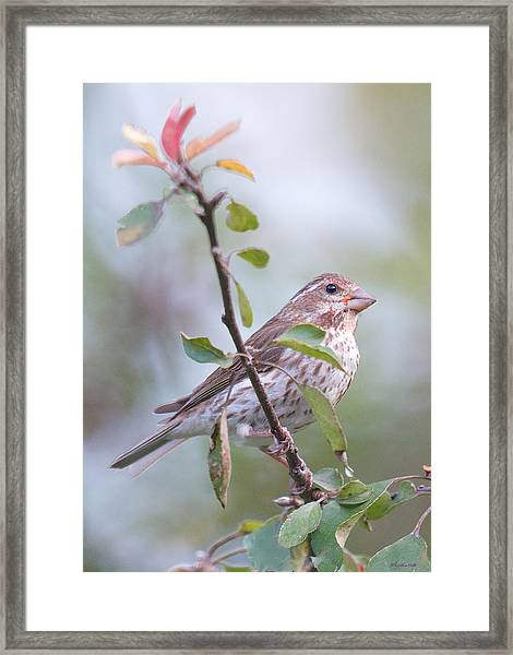 House Sparrow In The Apple Tree Framed Print