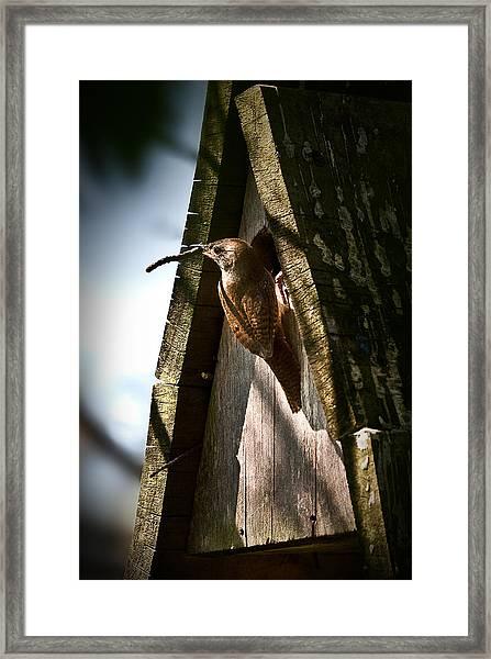 House Wren At Nest Box Framed Print