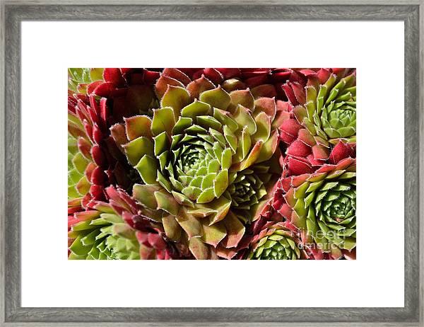 Framed Print featuring the photograph Houseleek Group by Scott Lyons