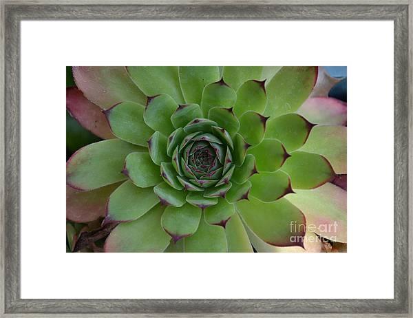 Framed Print featuring the photograph Houseleek Sempervivum by Scott Lyons