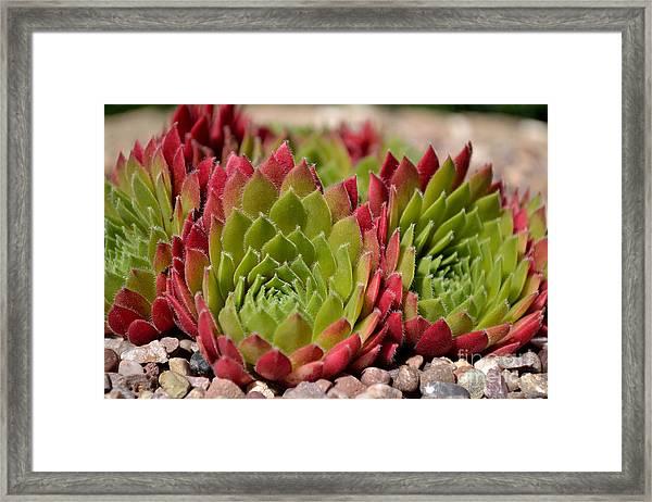 Framed Print featuring the photograph Houseleeks Aka Sempervivum From The Side by Scott Lyons