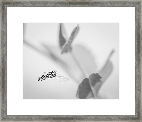 hoverfly in the pea patch B/W Framed Print