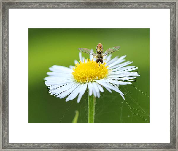 Hoverfly On Flower Framed Print by Brian Magnier