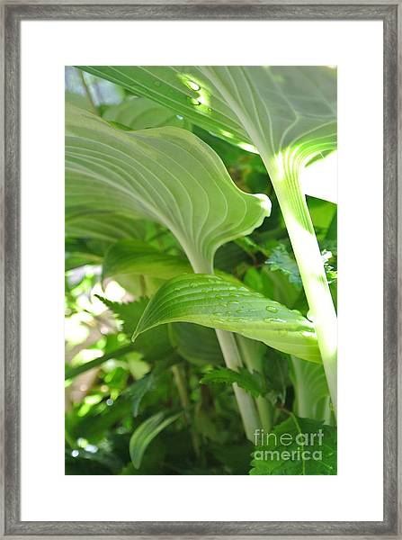 Hosta Framed Print