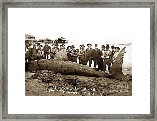 Huge Basking Shark Near Fishermans Wharf Monterey California Circa 1912 Framed Print