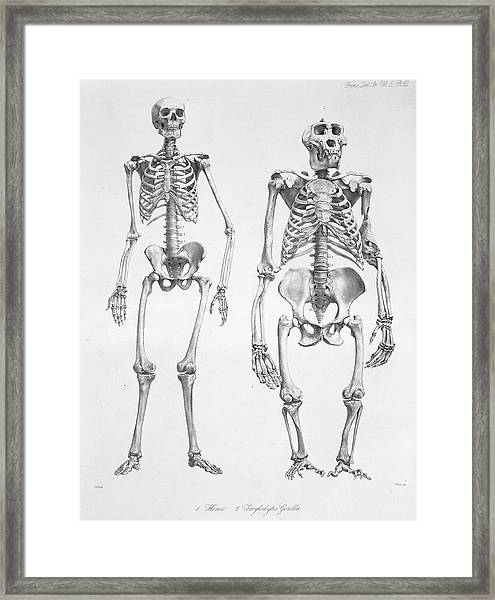 Human And Gorilla Skeletons Framed Print by Natural History Museum, London/science Photo Library
