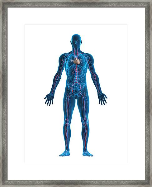 Human Heart And Vascular System Framed Print by Comotion_design
