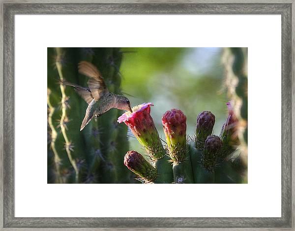 Hummingbird Breakfast Southwest Style  Framed Print