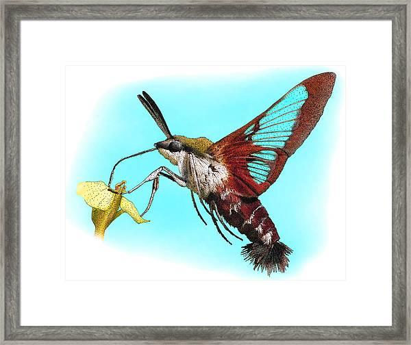 Hummingbird Clearwing, Illustration Framed Print