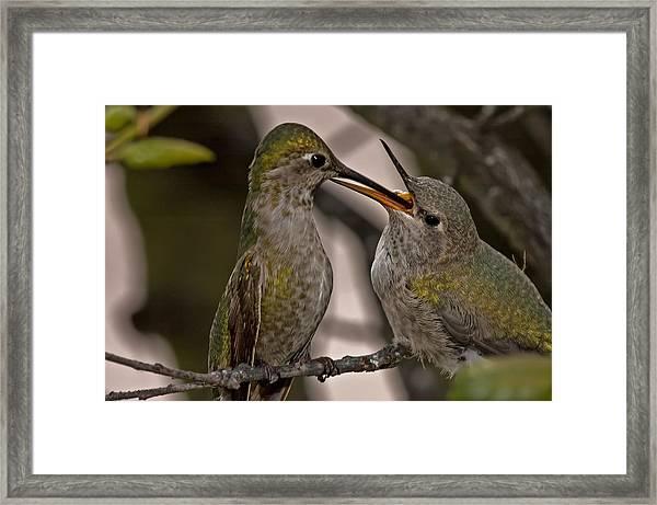 Hummingbird Feeding Baby Framed Print