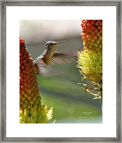 Hummingbird Feeding Framed Print
