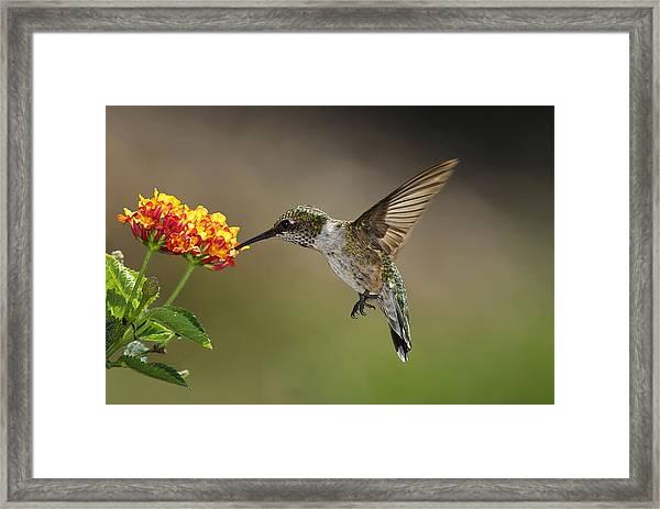 Hummingbird Feeding On Lantana Framed Print by DansPhotoArt on flickr