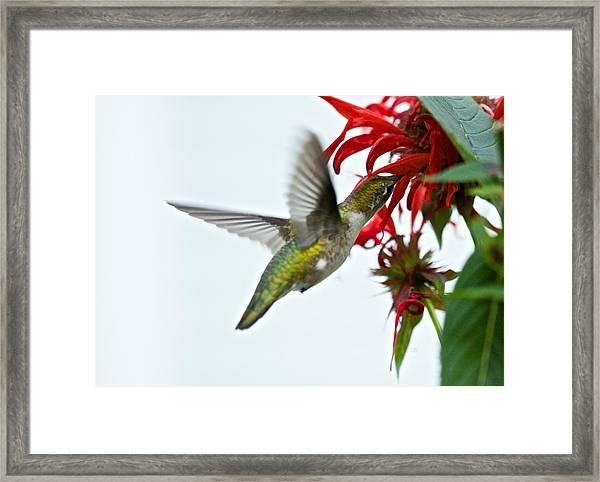 Hummingbird Focused On The Scarlet Bee Balm Framed Print