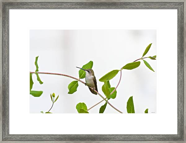 Hummingbird Hanging Out On The Honeysuckle Framed Print