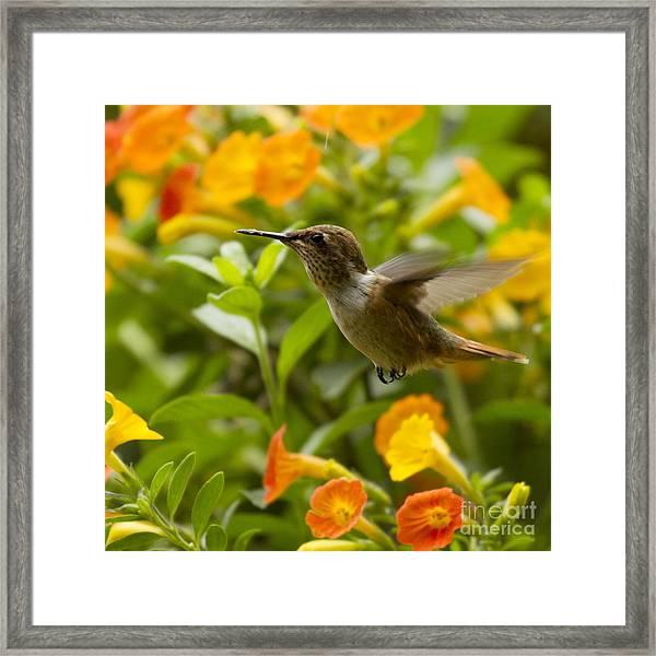 Hummingbird Looking For Food Framed Print