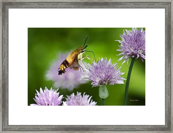 Hummingbird Moth On Purple Chive Flowers Framed Print